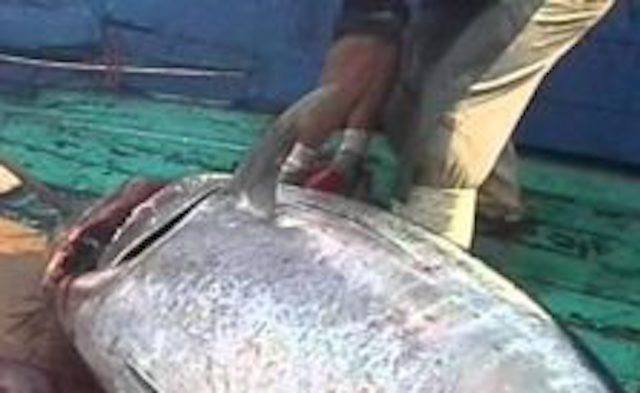 Porto Empedocle, pesca tonno illegalmente: multato