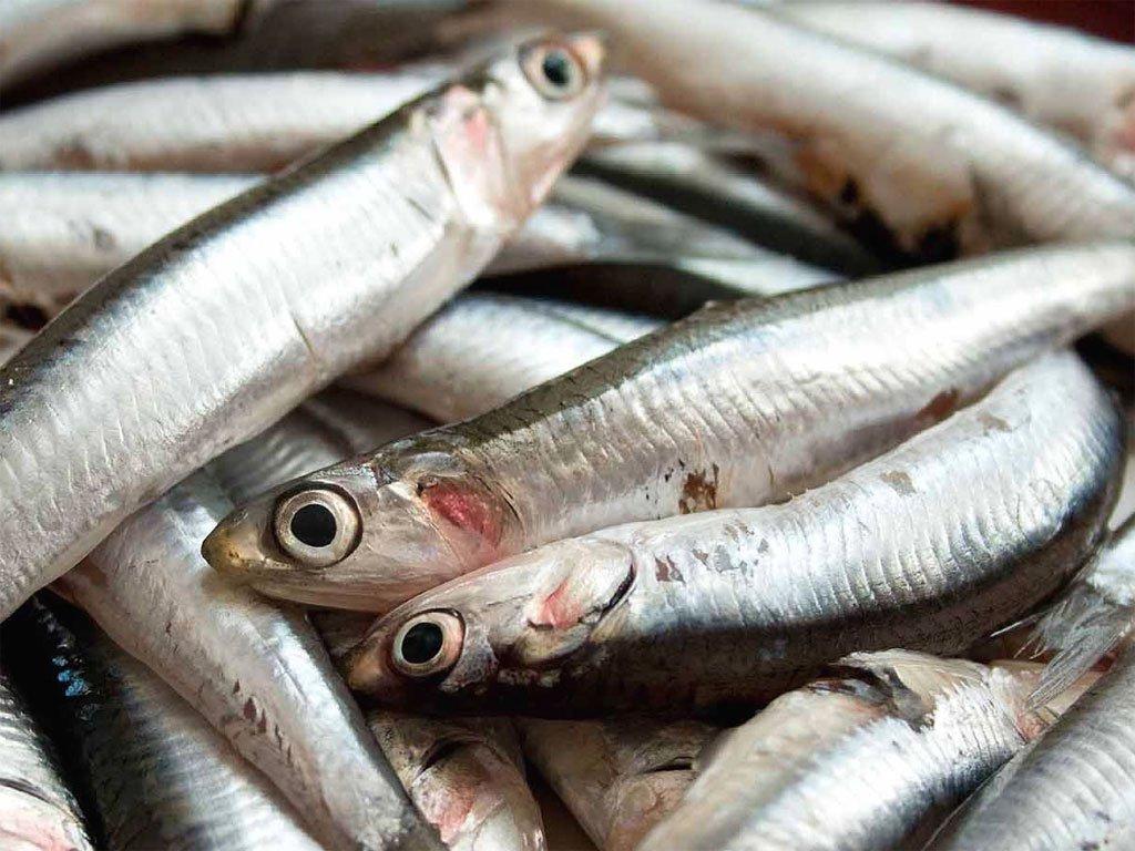 Un piano europeo che coniuga la salvaguardia delle acciughe e sardine con la tutela dei pescatori