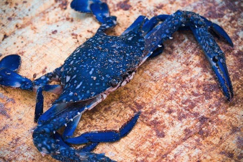 Il Granchio Blu, una nuova specie nel Mediterraneo